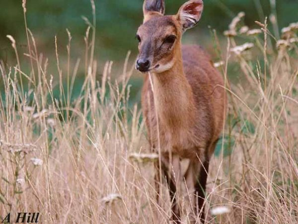 Empirical Study and Community Awareness on Four-Horned Antelope (FHA) in Banke National Park and its Buffer Zones