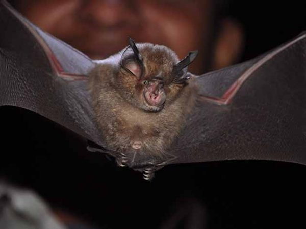 Habitat and Acoustic Survey and an Action Plan for Bats Conservation in the Kathmandu Valley, Nepal