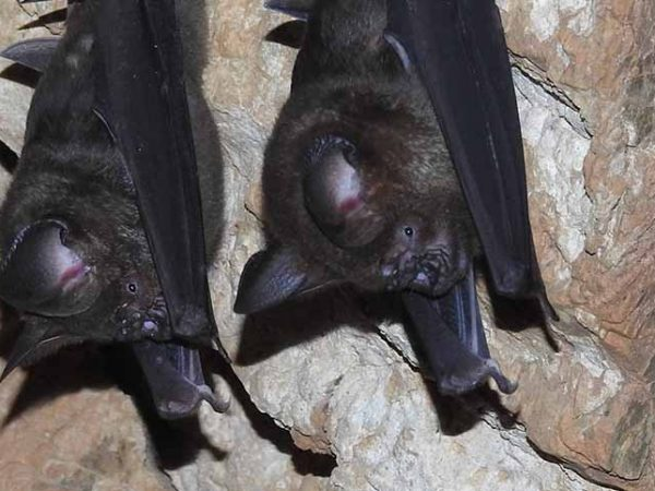 Survey of bats in Tanahun