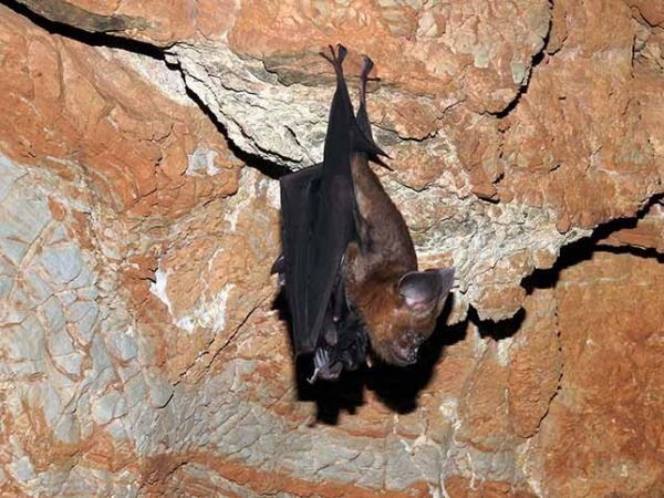 Survey of bat in Nawalparasi district