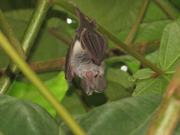 Bats Study in Salyan and Dang districts