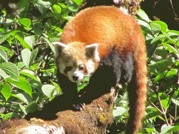 Food habits of Red Panda