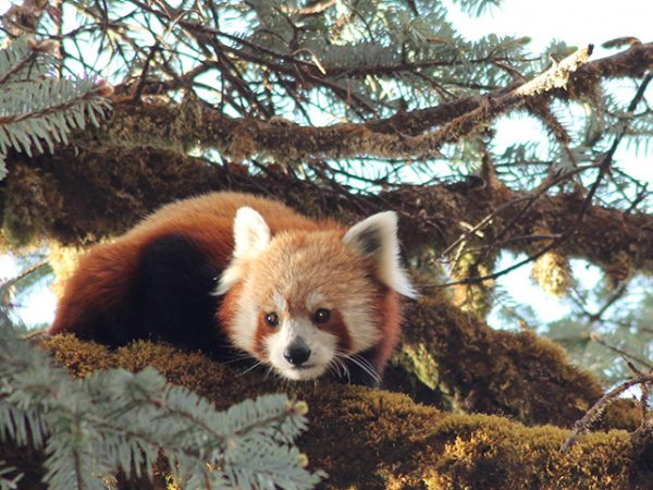 Distribution of Red Panda in Jajarkot District of Western Nepal