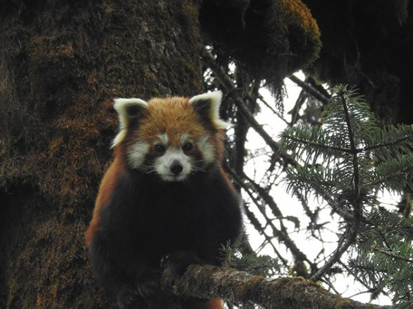 Red Panda Conservation in Gaurishankar Conservation Area