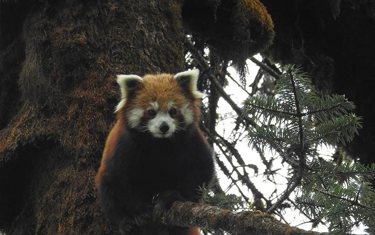 Red Panda in Gaurishankar Conservation Area