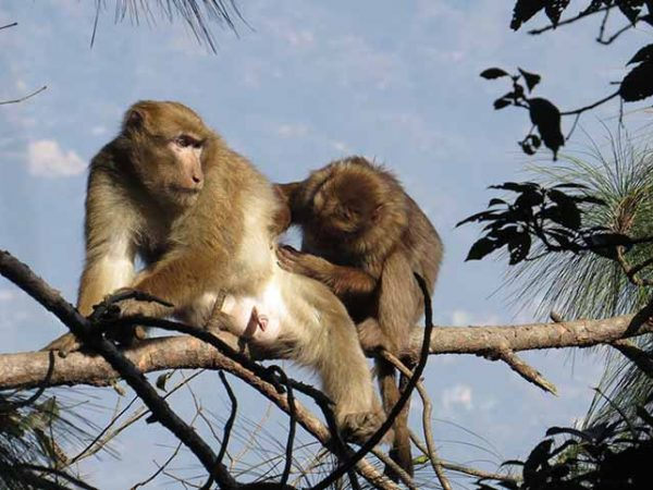 Study of Feeding Ecology of Assamese macaque in Shivapuri Nagarjun National Park