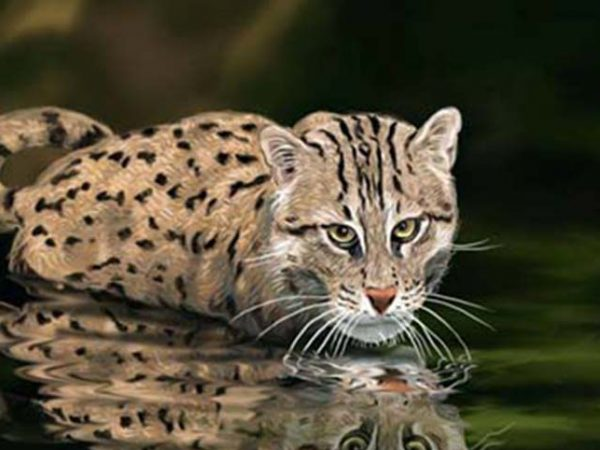 Fishing Cat Research